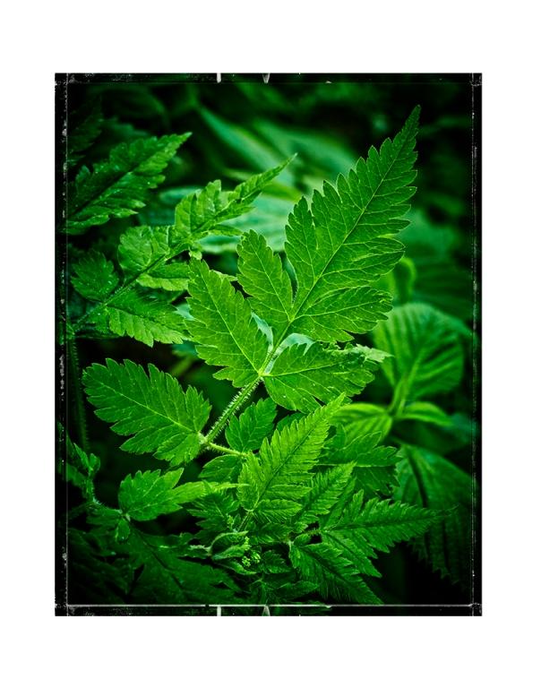 50mm_GreenFern