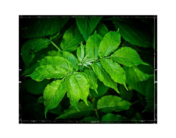 50mm_GreenSumac